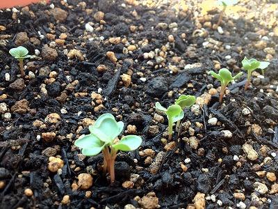 【ベランダ菜園・20日大根】5日目・芽が出てきました