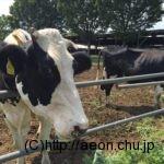 加藤牧場の乳牛
