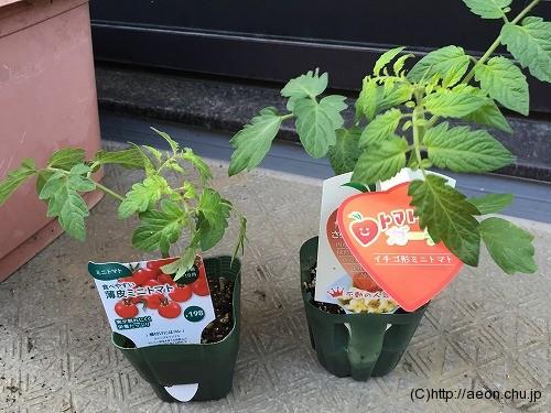 ミニトマトの苗(トマトベリー・薄皮ミニトマト)