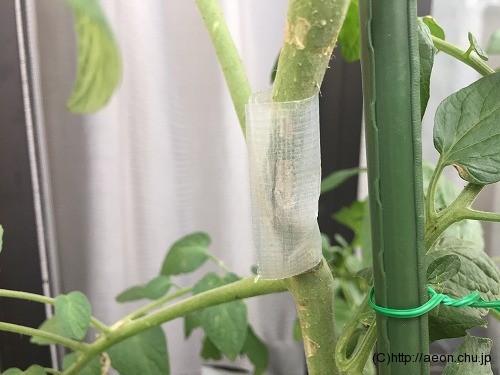 ミニトマトの枝が折れた補修後