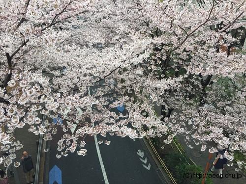 roppongi-hills-sakura_001