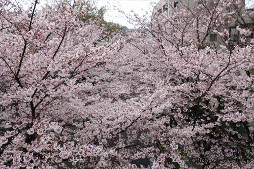 roppongi-hills-sakura_004