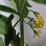 【ベランダ菜園・ミニトマト】20日目:花が咲きました