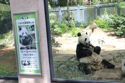 上野動物園パンダ リーリー
