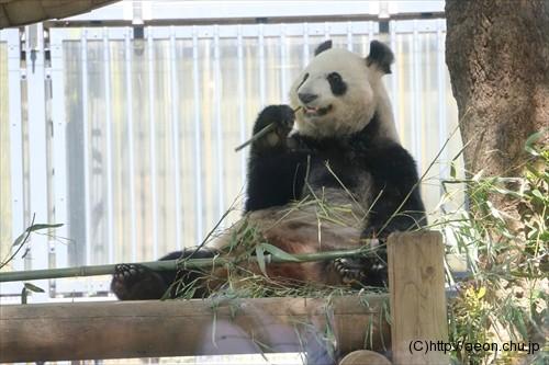 上野動物園パンダ シンシン