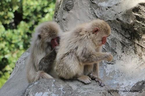 上野動物園サル 毛づくろい