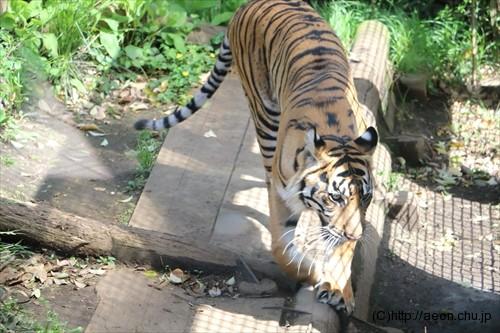 上野動物園スマトラトラ