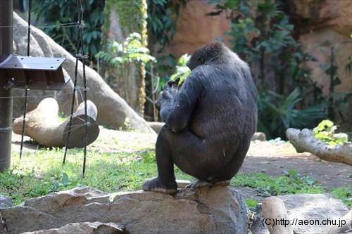 上野動物園ゴリラの背中