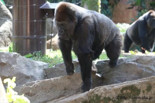 上野動物園ゴリラ